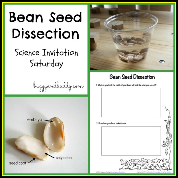 dissecting seeds activities for kids