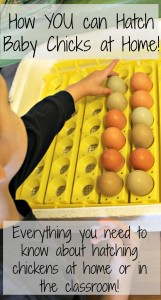 how to incubate chicken eggs with kids
