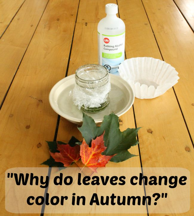 A simple science experiment for kids to explain why leaves change color in Autumn! A great science project for preschoolers. #scienceexperiments #science #kidsscience  #fall #autumn #preschool