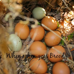 The story of our hen going broody!