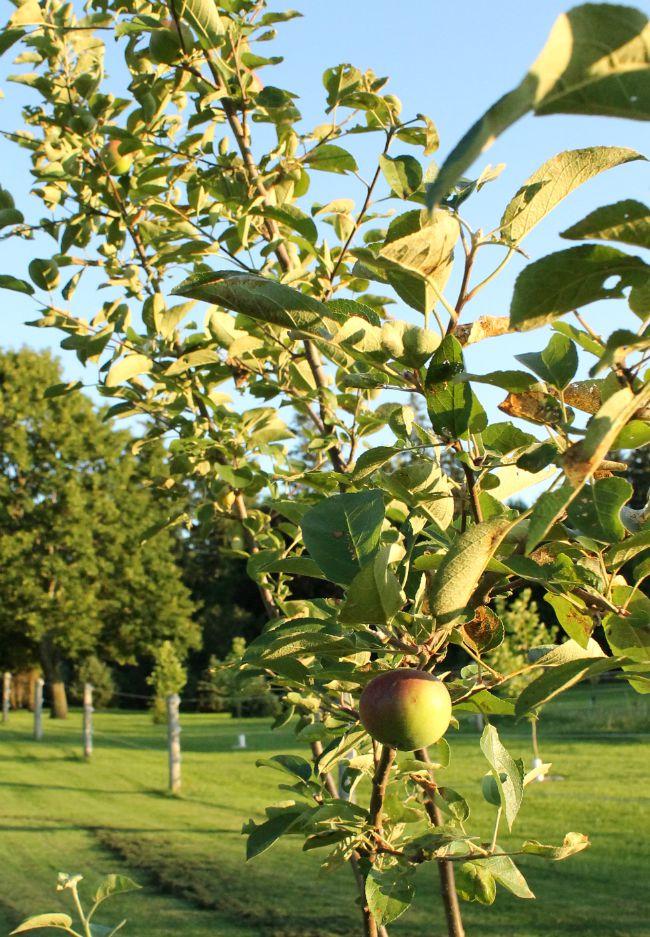 July garden apple