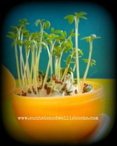 Preschool Easter activities - growing plants in eggs