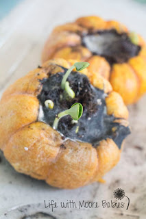 Fall science experiments -growing pumpkins in pumpkins