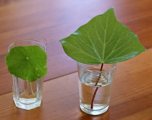 Fall science experiments - how leaves get water
