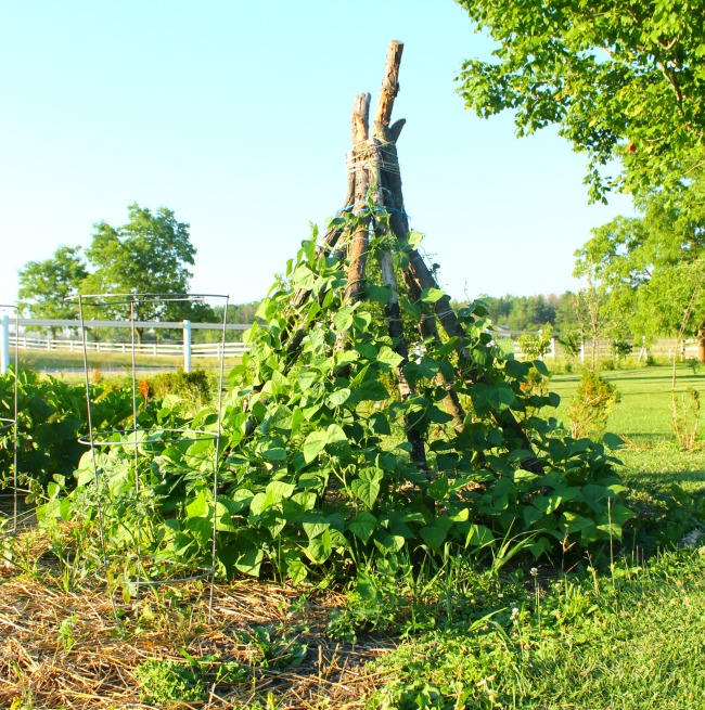 How to make a pole bean teepee for kids to use in the summer garden! Perfect little hideaway fort!