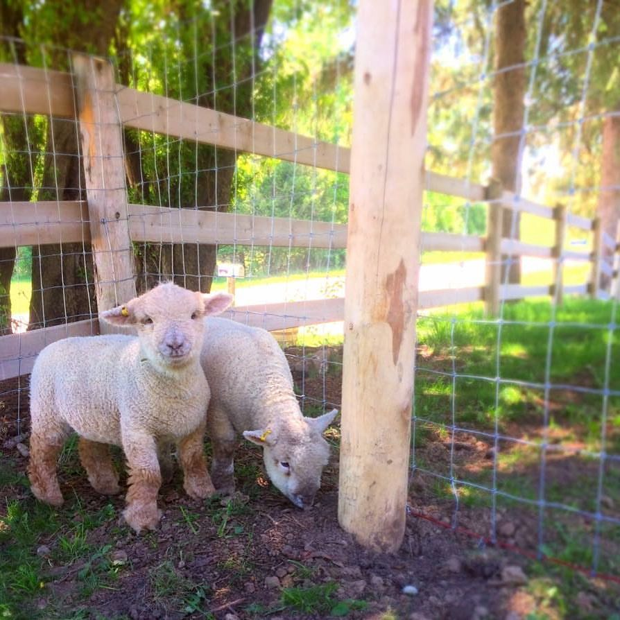 Our Olde English Southdowne Babydoll lambs!