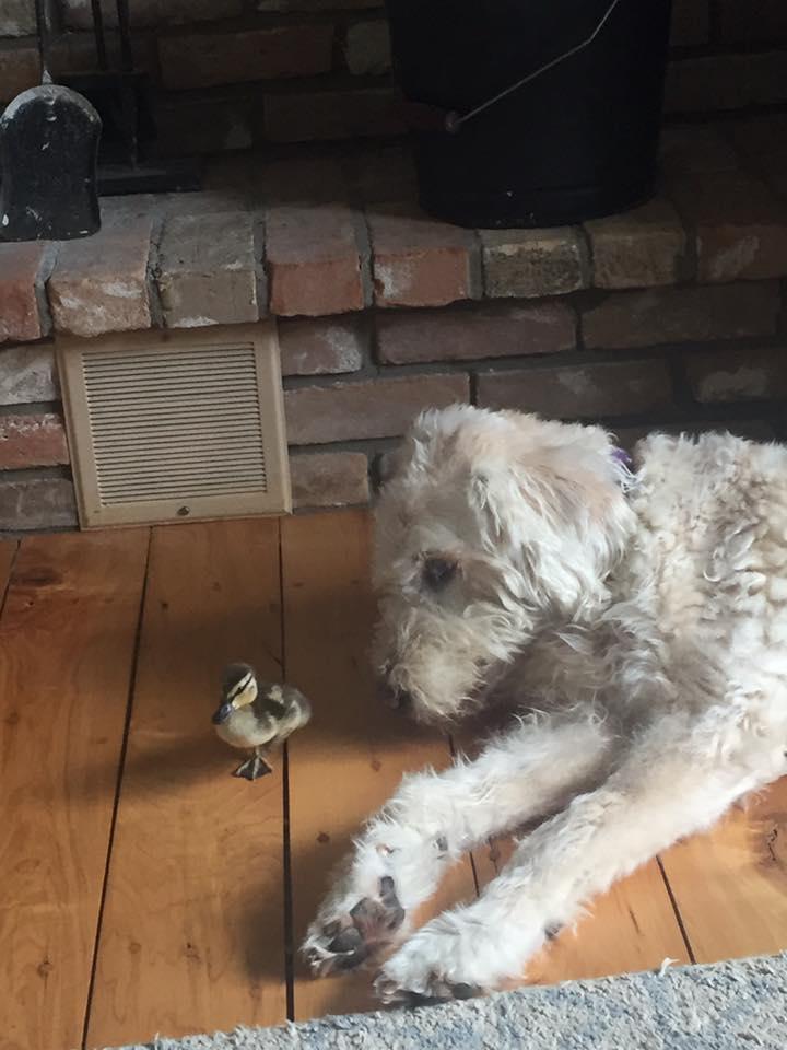 Our pet duck Delilah!