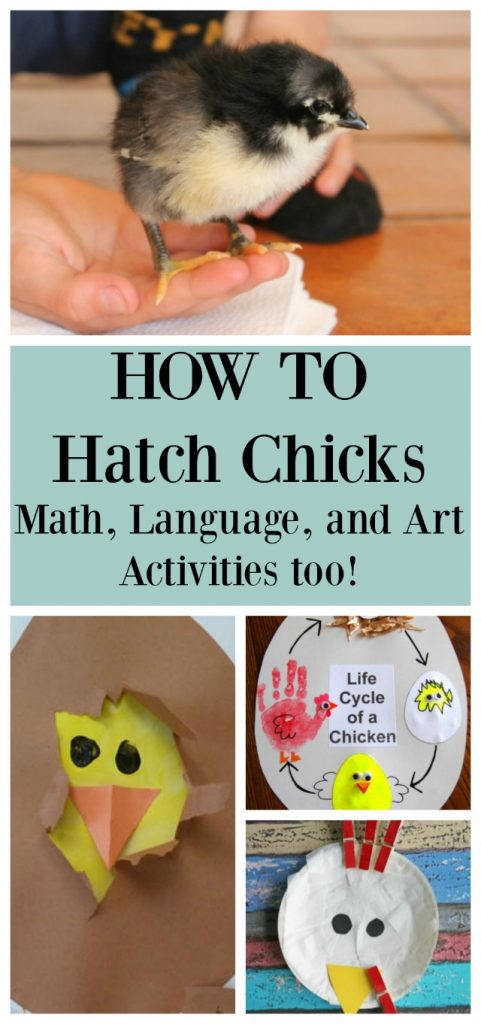 How to hatch chicks and math, science, and language activities for kids too! #hatching #hatchingchicks #chickens #preschool #kindergarten #homeschool